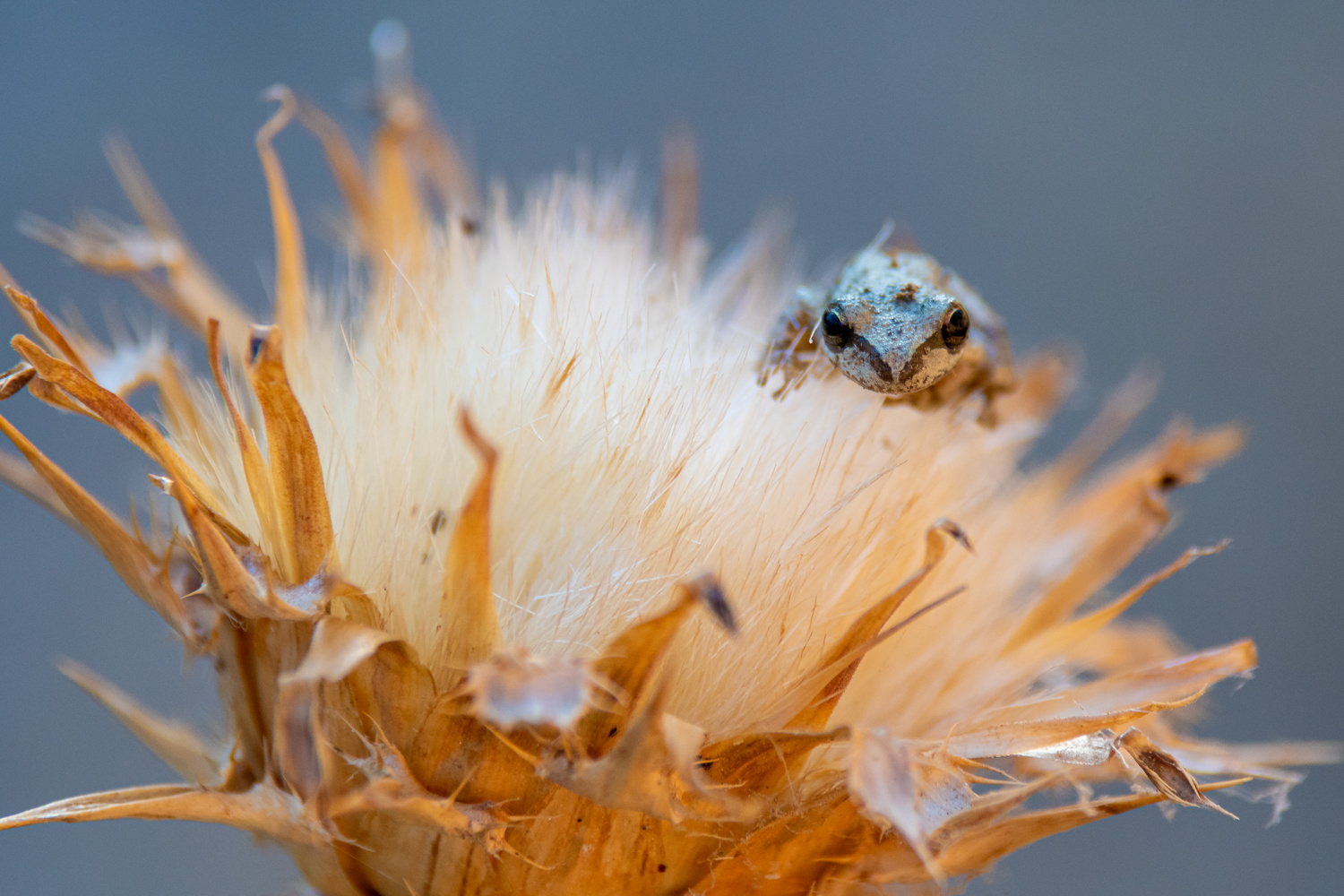 Frog on a thistle by Jacob Pelley