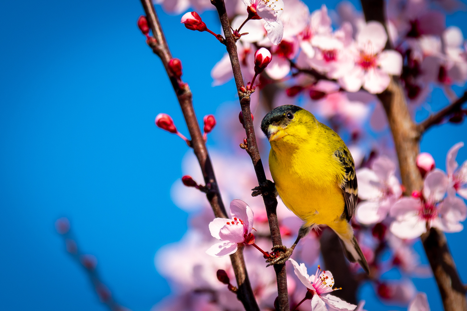 Blossm Finch by Jacob Pelley