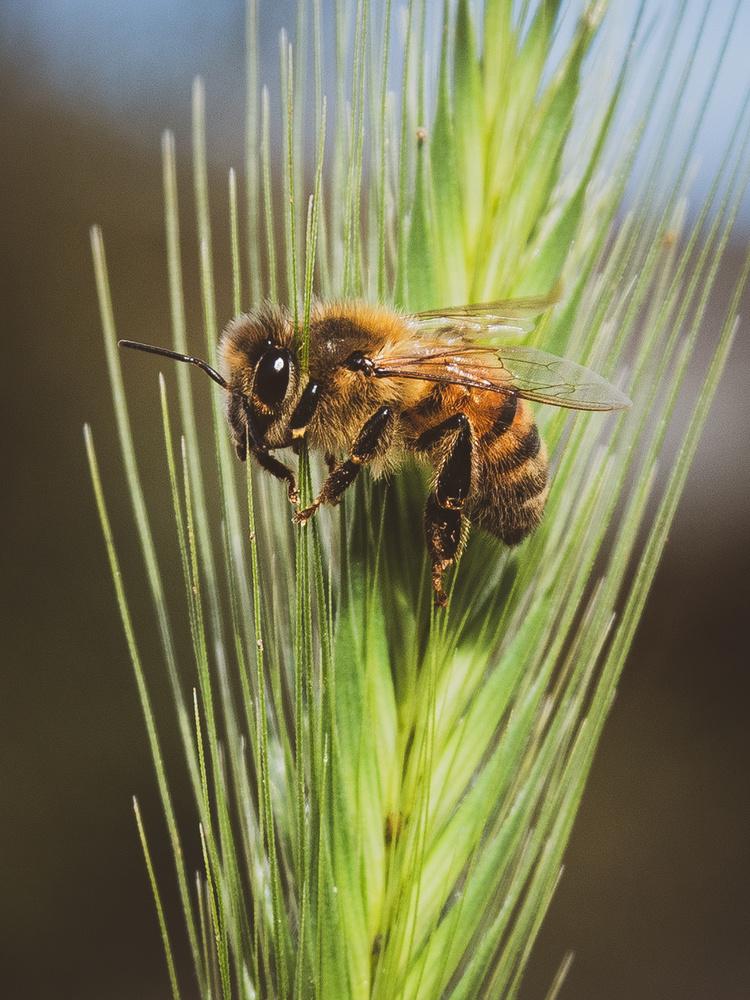Sleepy Bee by Jacob Pelley