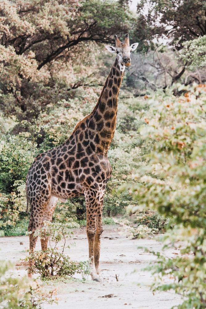Giraffe Portrait by Joe Unsworth