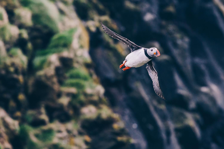 """Puffin Taking Flight"" by Kevin Barnett"