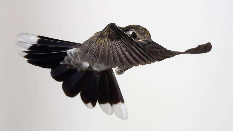 Dracula Blue-throated Hummingbird by Gregory Scott
