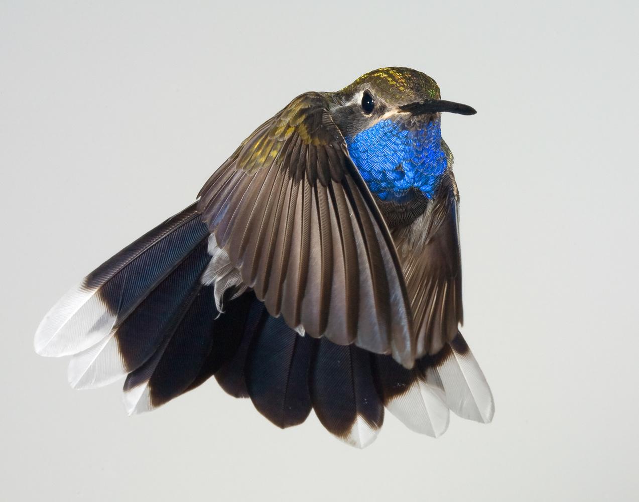 Blue Throated Hummingbird as Ballet Dance in Tutu by Gregory Scott