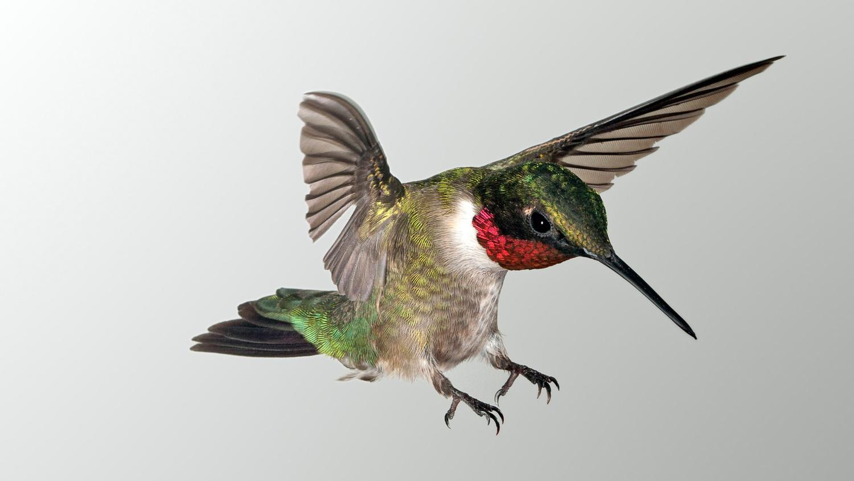 Landing Ruby Throat Hummingbird by Gregory Scott