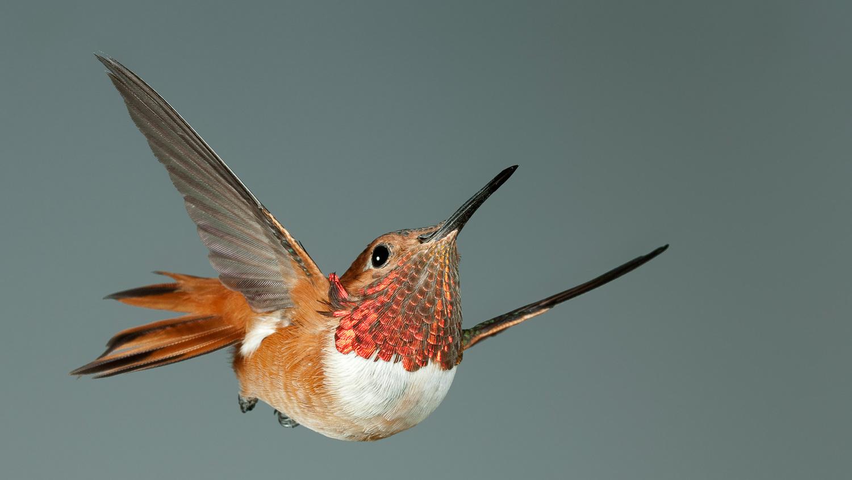 Rufous Hummingbird Head Up by Gregory Scott