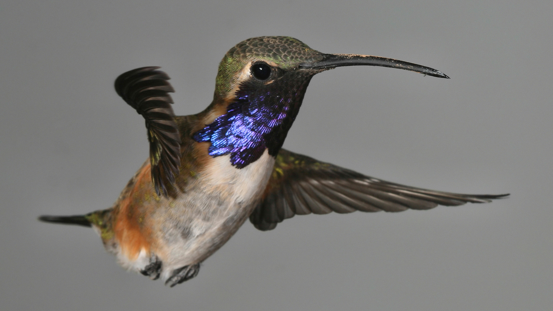 Lucifer Hummingbird by Gregory Scott