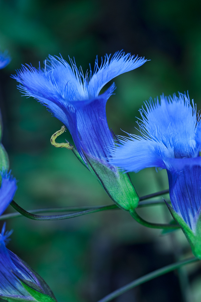 Greater Fringed Blue Gentian, and inchworm by Gregory Scott
