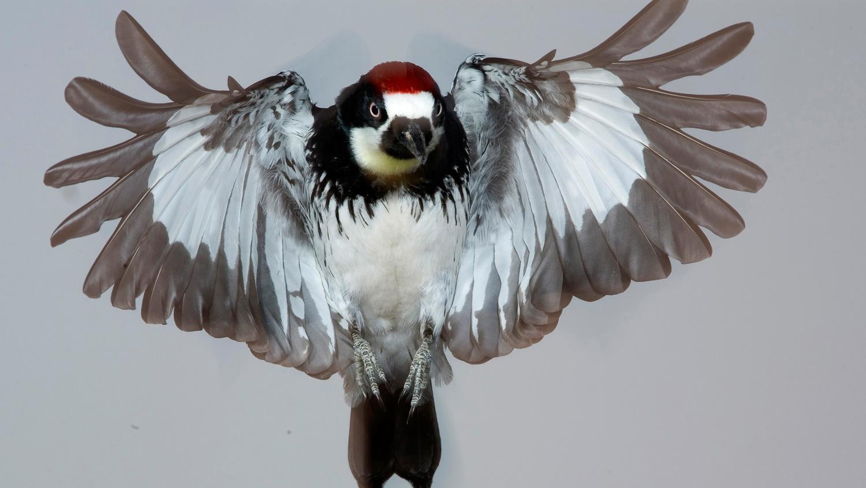 Acorn Woodpecker Landing by Gregory Scott