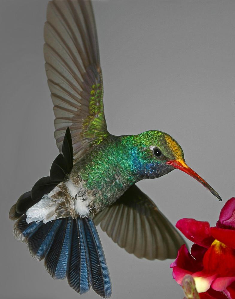 Broad-billed Hummingbird with Pollen by Gregory Scott