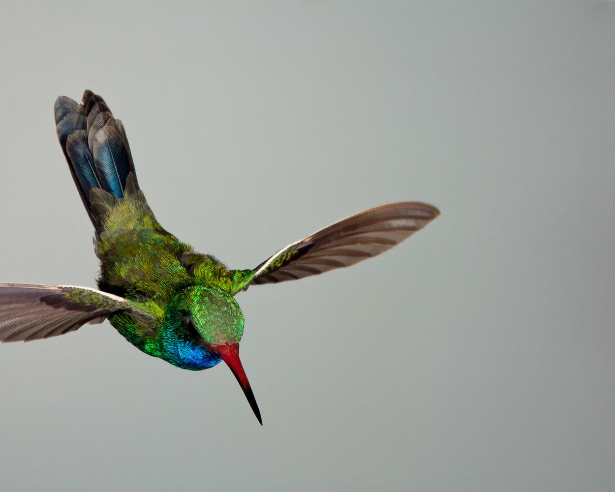 Descending Broad-billed Hummingbird by Gregory Scott