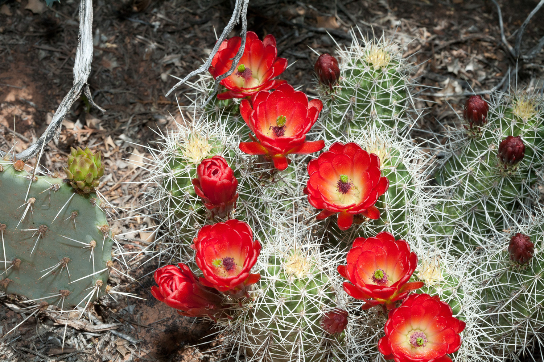 Claret Cactus by Gregory Scott