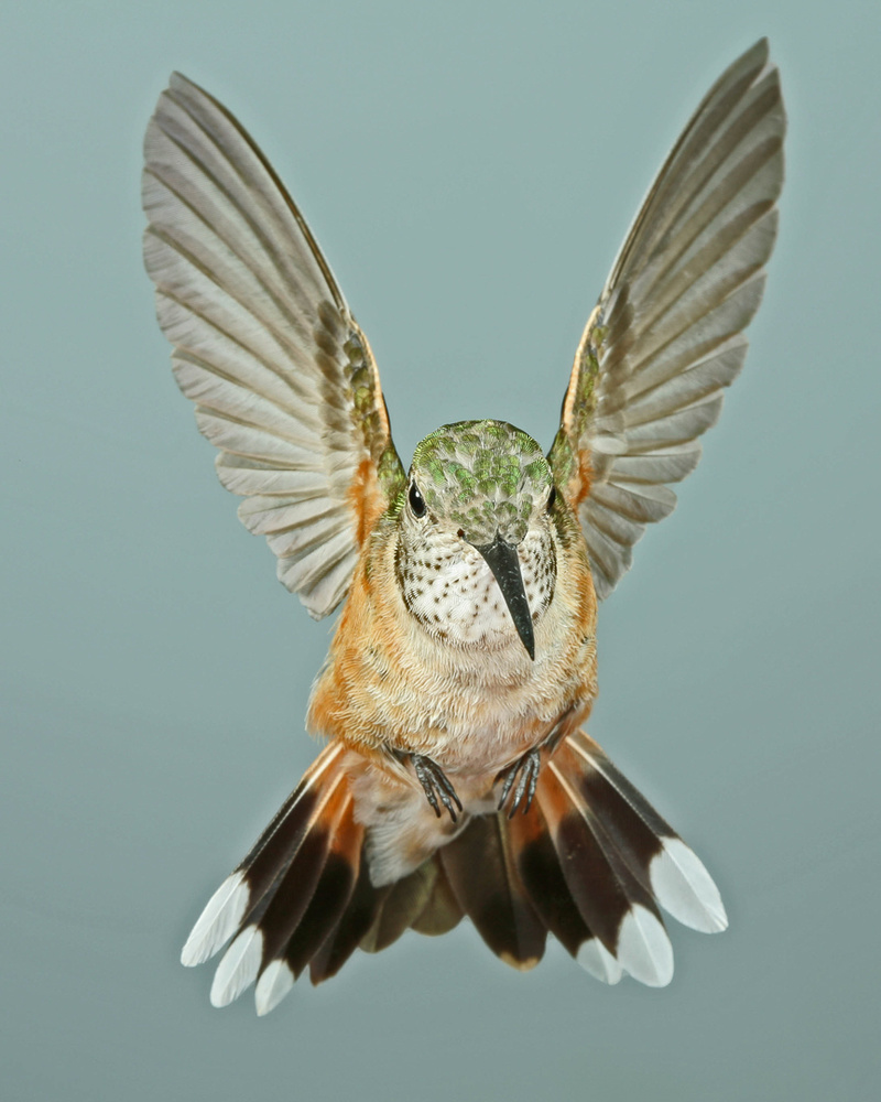 Female Broad-tailed Hummingbird Rampant by Gregory Scott