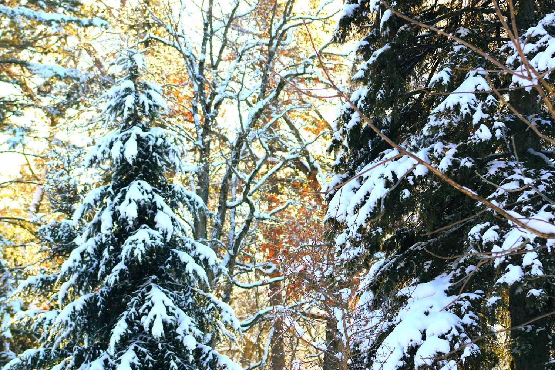White Flocked Pines by Alison Tobias