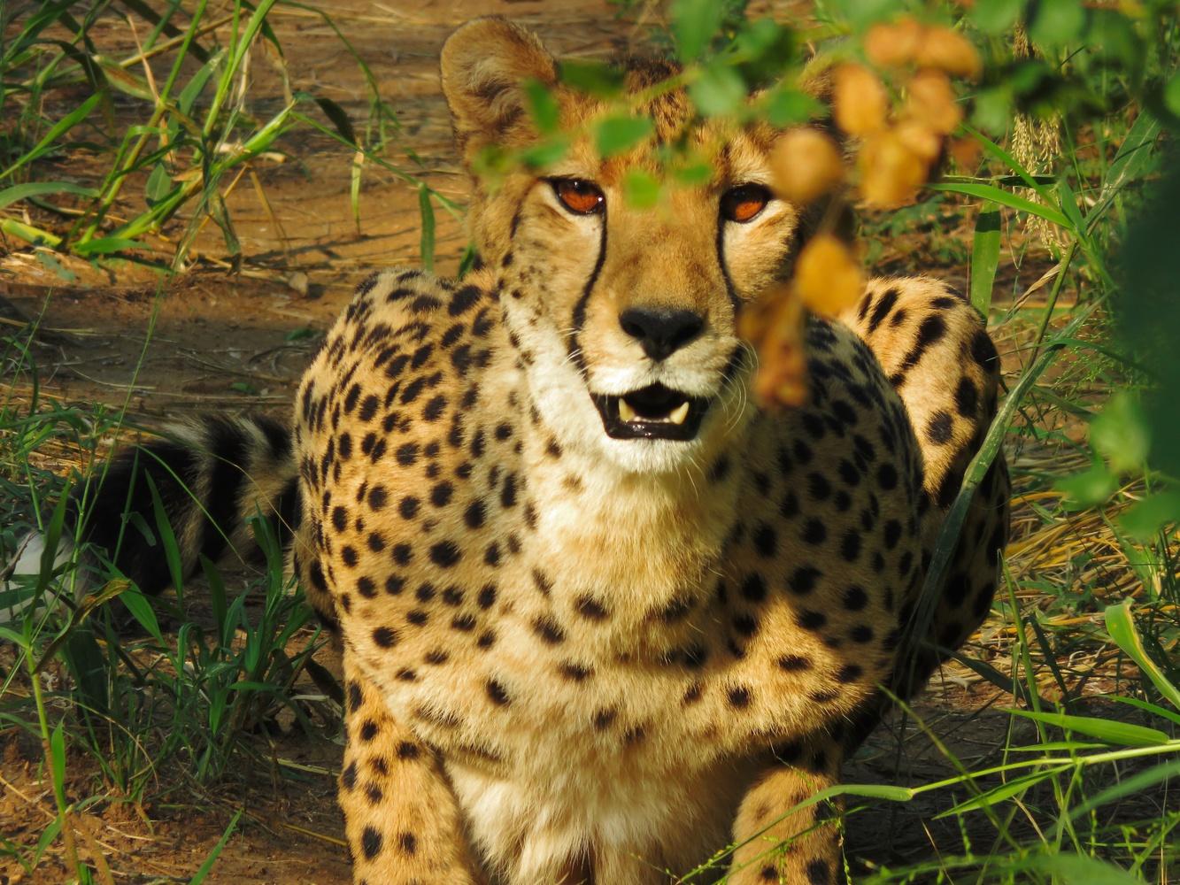 Cheetah by Tyler Bauer