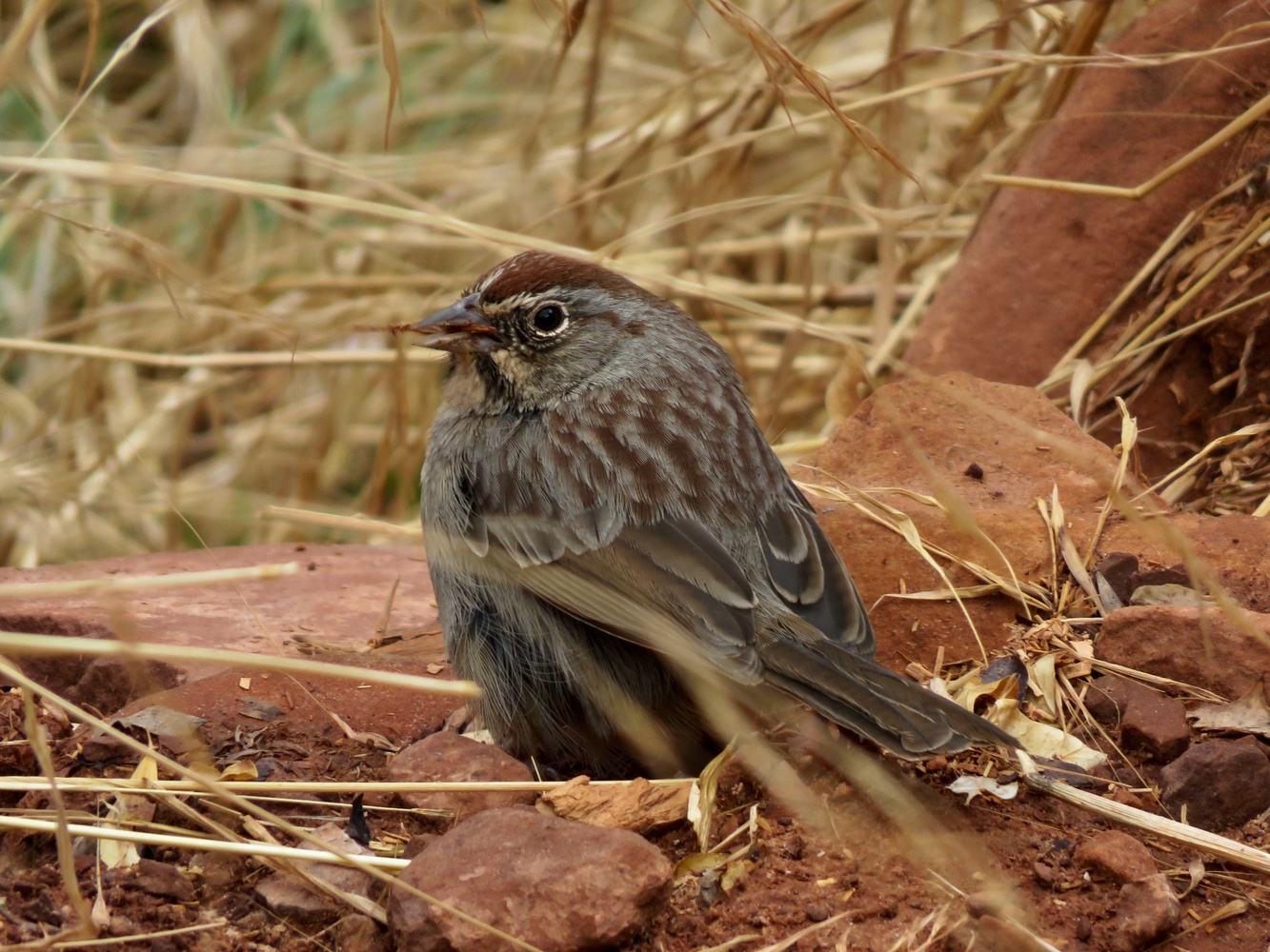 Rufous-crowned Sparrow by Tyler Bauer