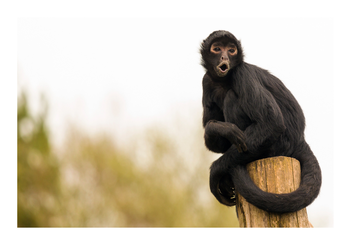 Black-headed Spider Monkey (Ateles fusciceps) by Clare Lusher