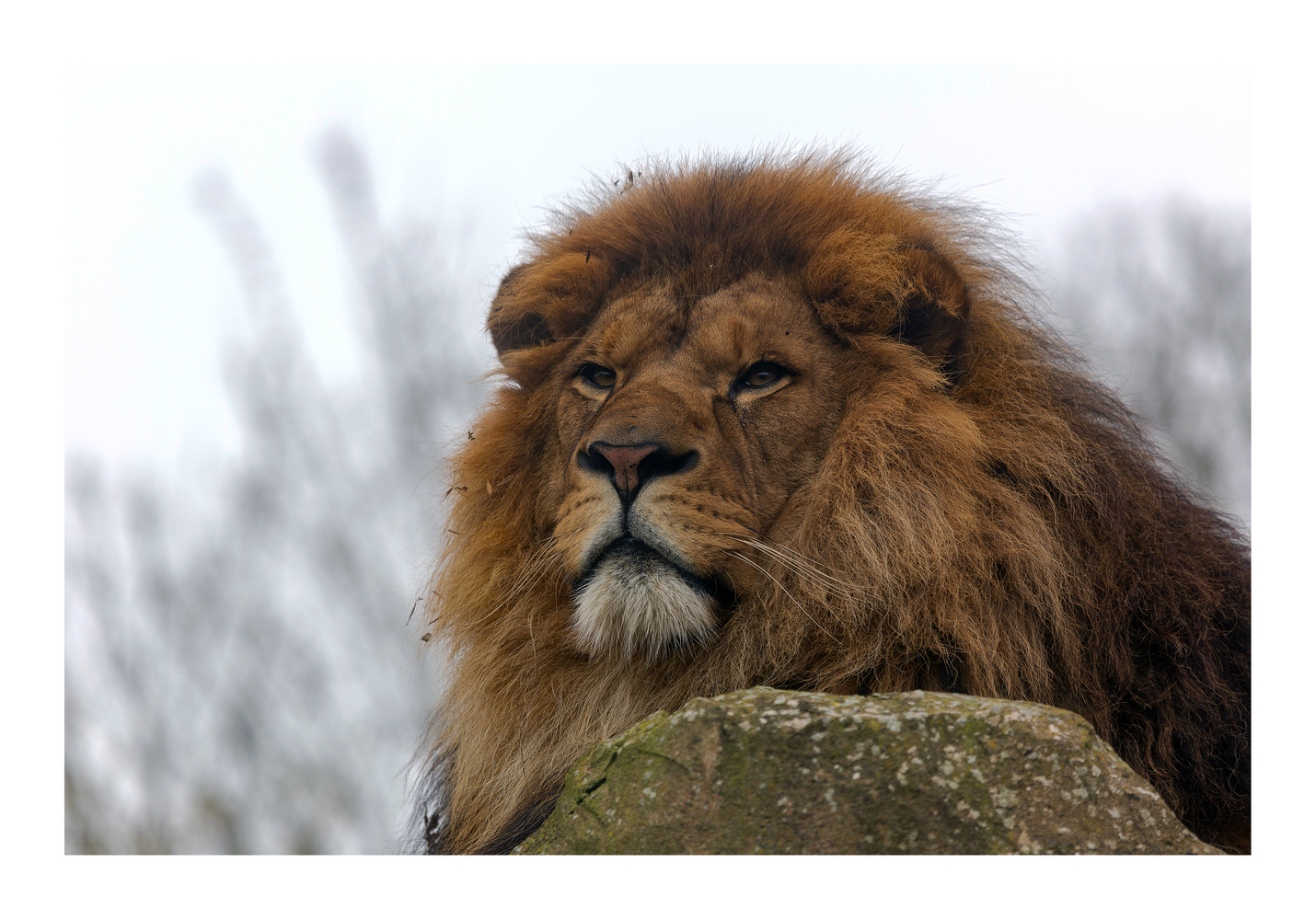 African Lion (Panthera leo). by Clare Lusher