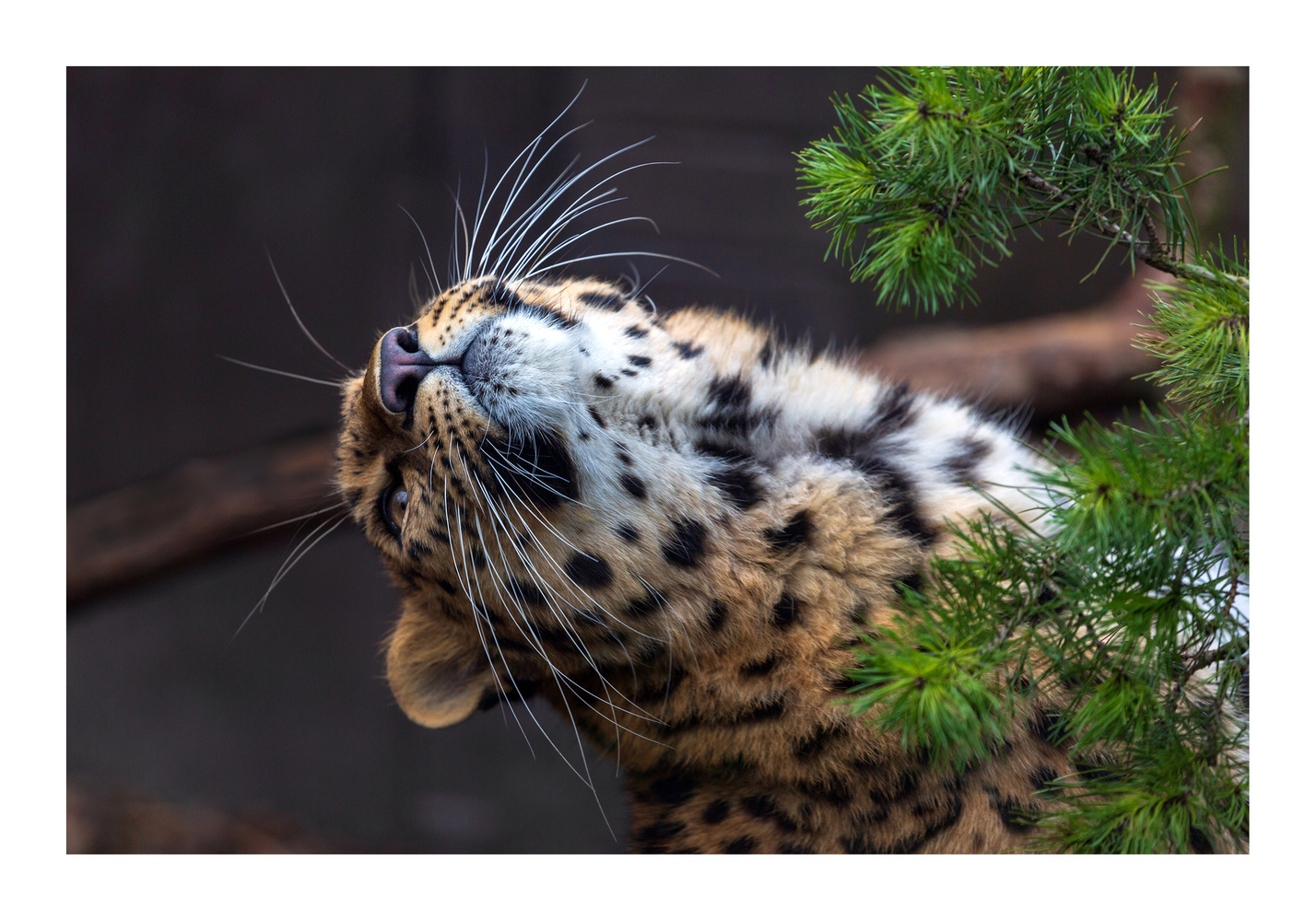 Amur Leopard (Panthera pardus orientalis) by Clare Lusher