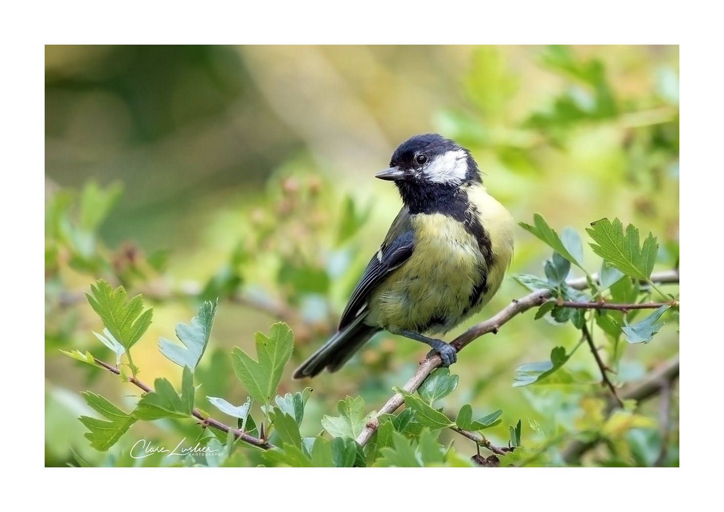 Great tit by Clare Lusher