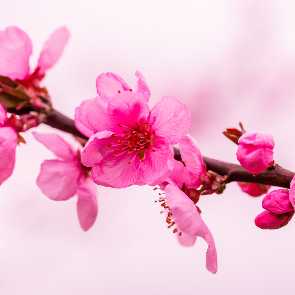 Cherry Blossom by Clare Lusher