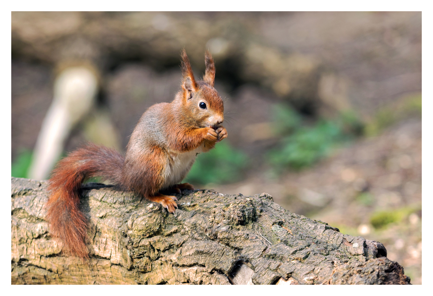 Red squirrel by Clare Lusher
