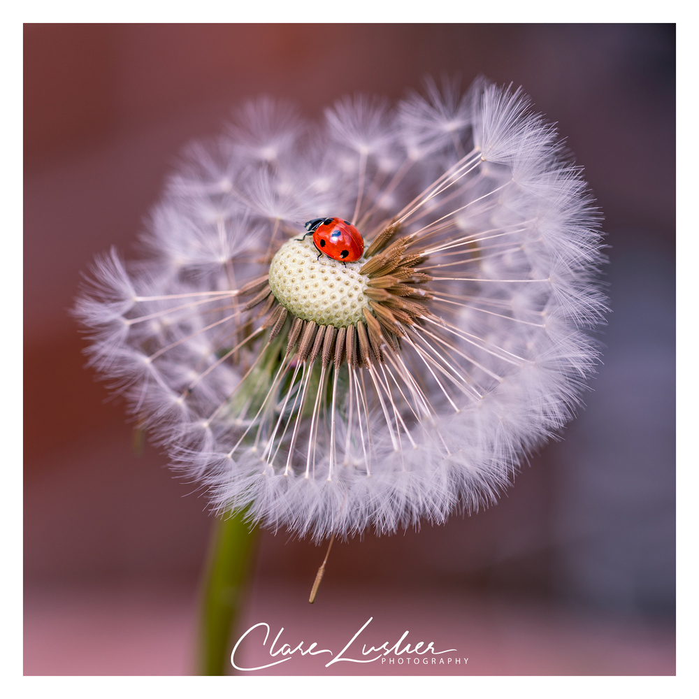 Dandelion and Ladybird by Clare Lusher