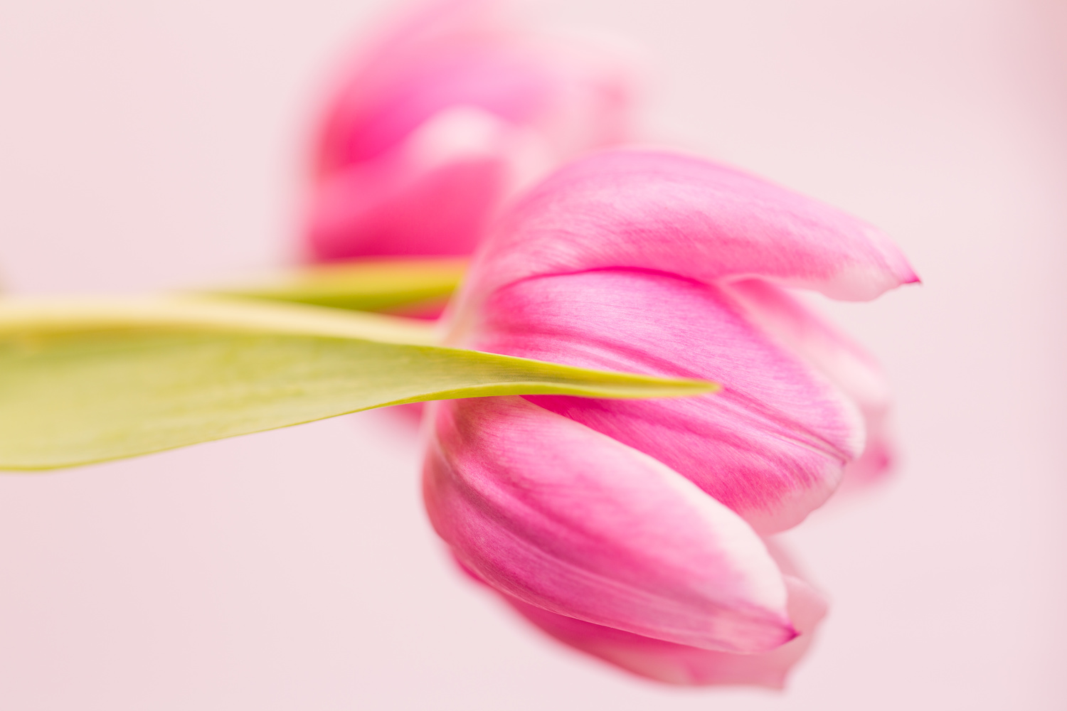 Pink Tulips by Clare Lusher