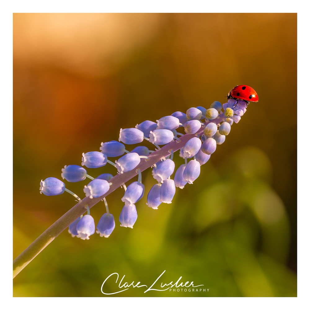 Liriope and Ladybird by Clare Lusher