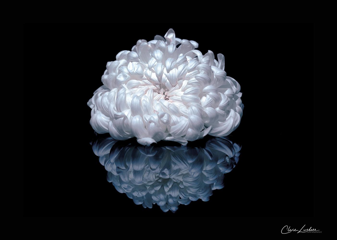 Chrysanthemum by Clare Lusher