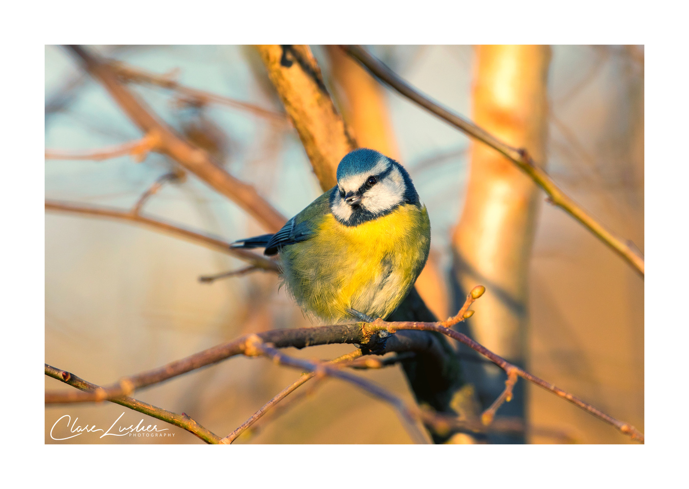 Blue tit by Clare Lusher