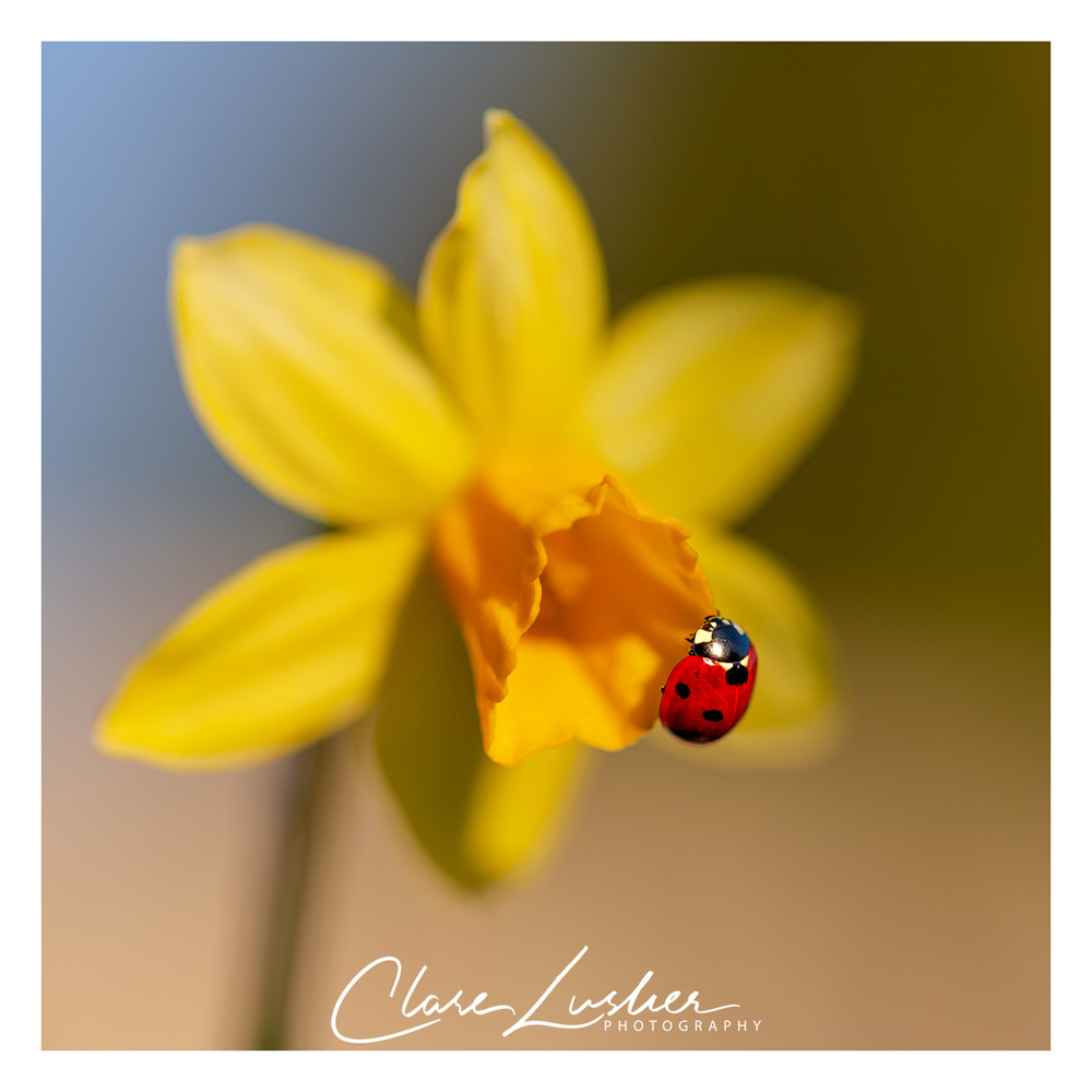 Daffodil and Ladybird by Clare Lusher