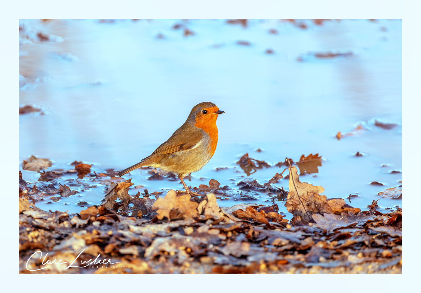 European robin by Clare Lusher