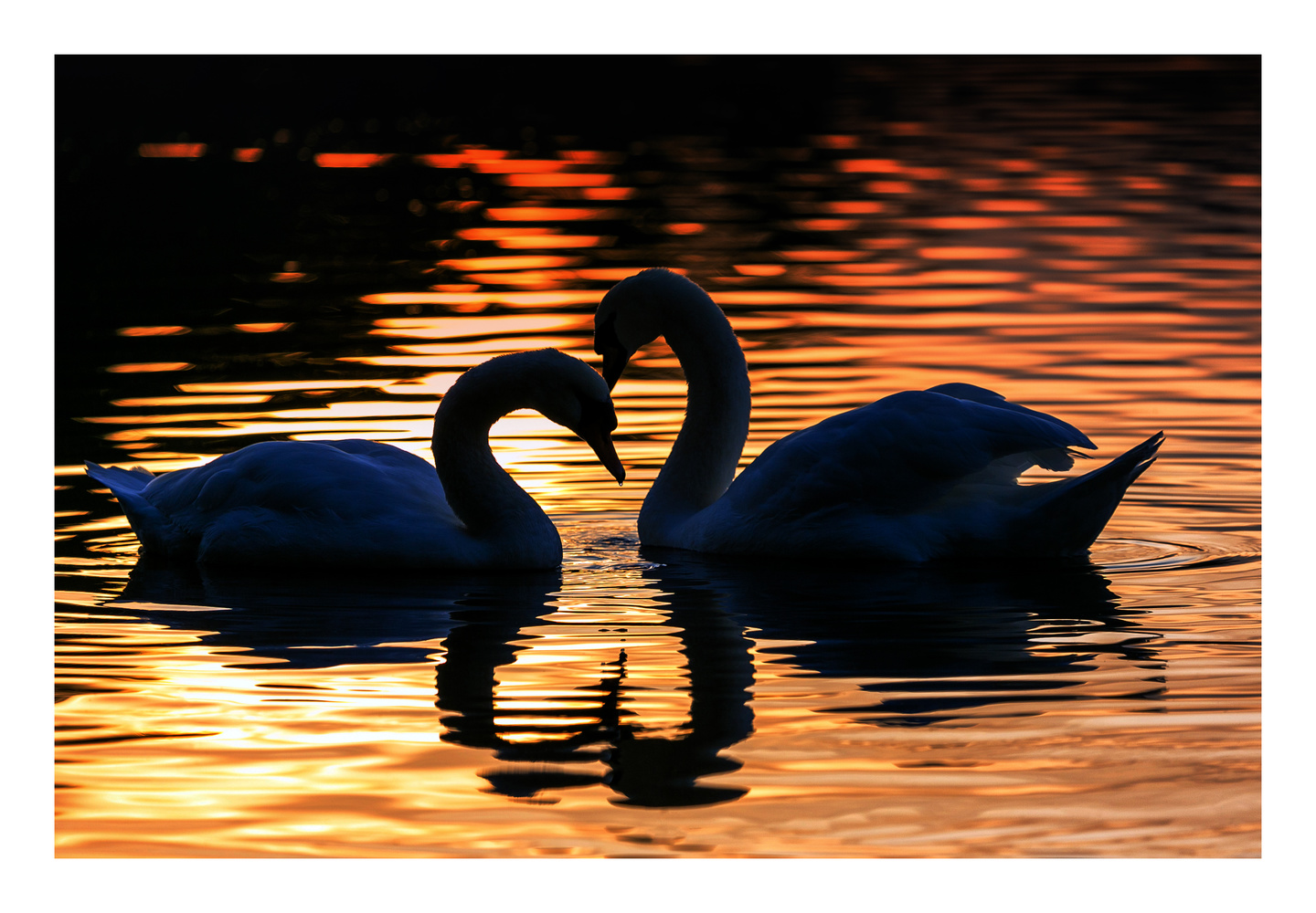 Mute swan courtship by Clare Lusher
