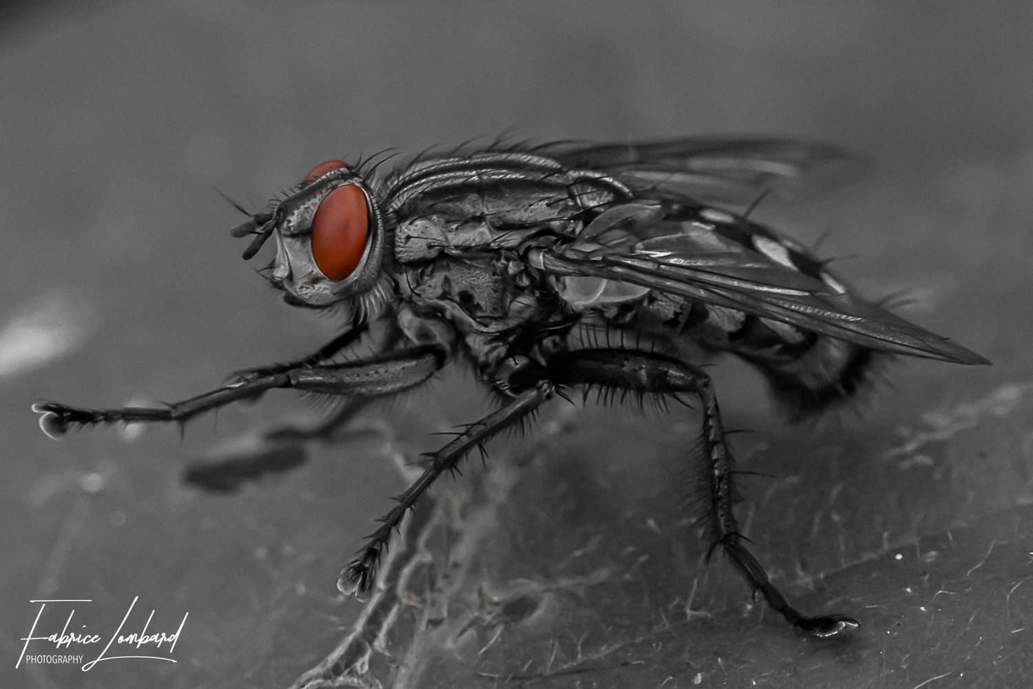 The fly by Fabrice Lombard