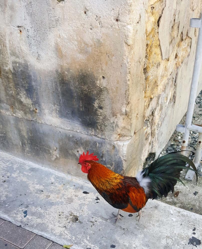 Key West Cluck by Audrey Berkowitz