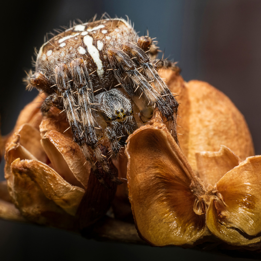 Common Orb web Spider by John Cumber