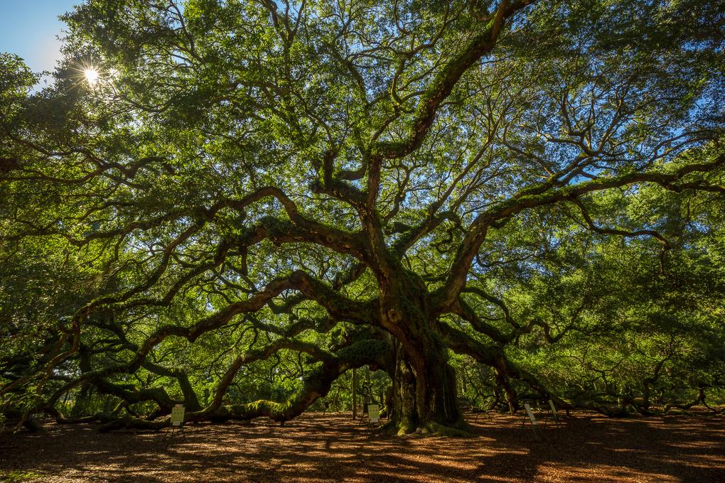 Angel Oak by Adam Lyon