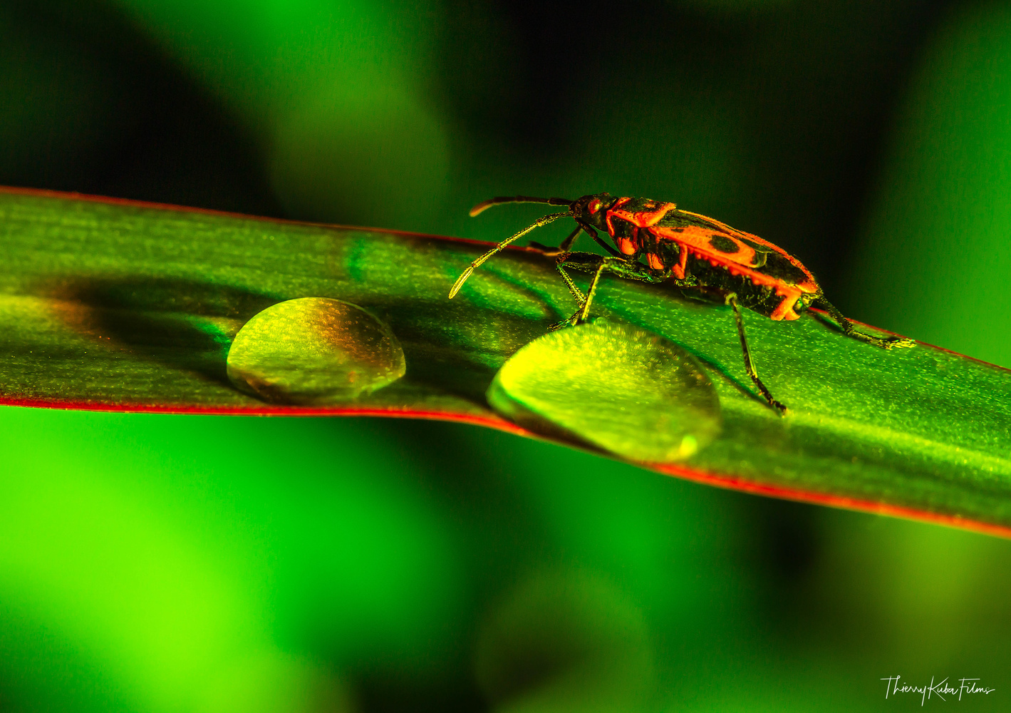 Macro Insect by Thierry KUBA