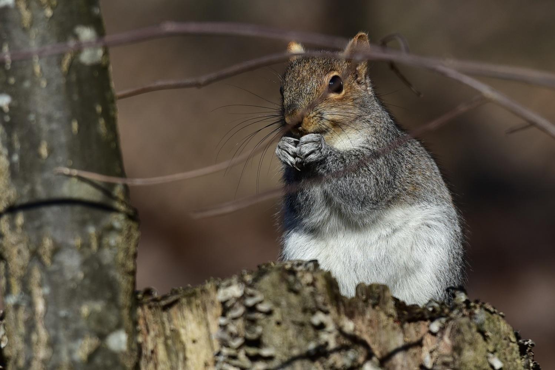 squirrel by Chris Freeman