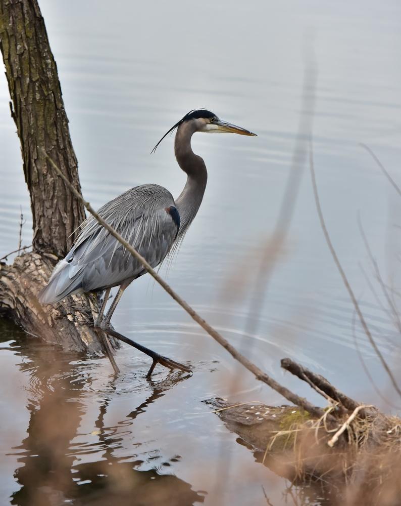 blue heron by Chris Freeman