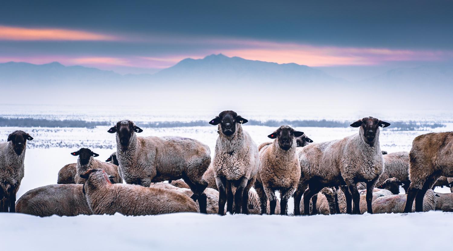 Salty Sheep by Daniel Mekis by Daniel Mekis