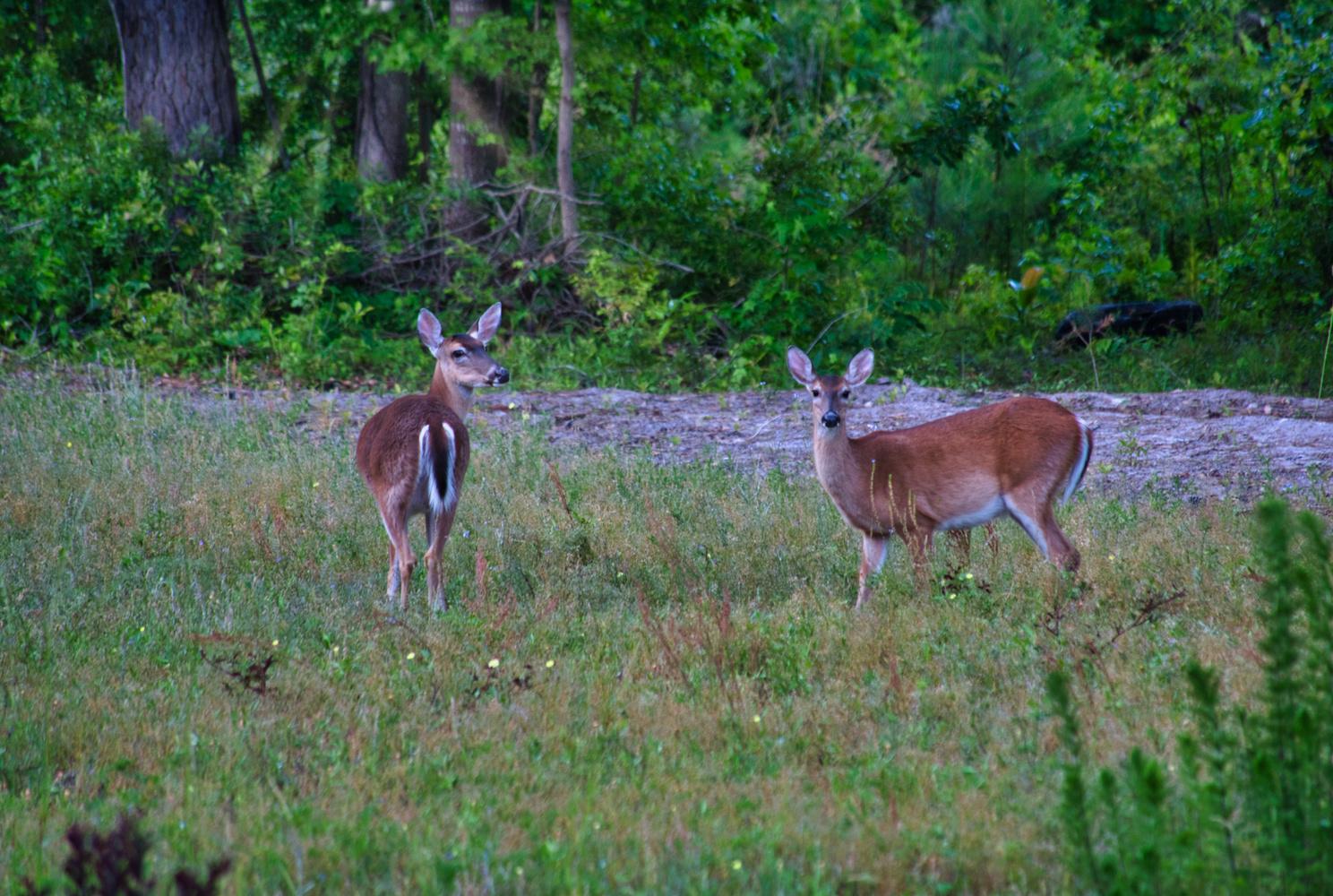 Deer in the field by Wheeler McGowan