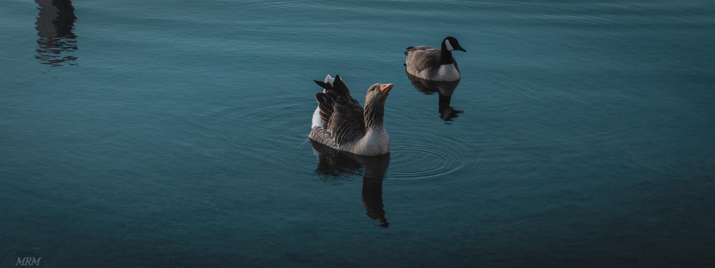 Ducks on a pond by Matt Matthews