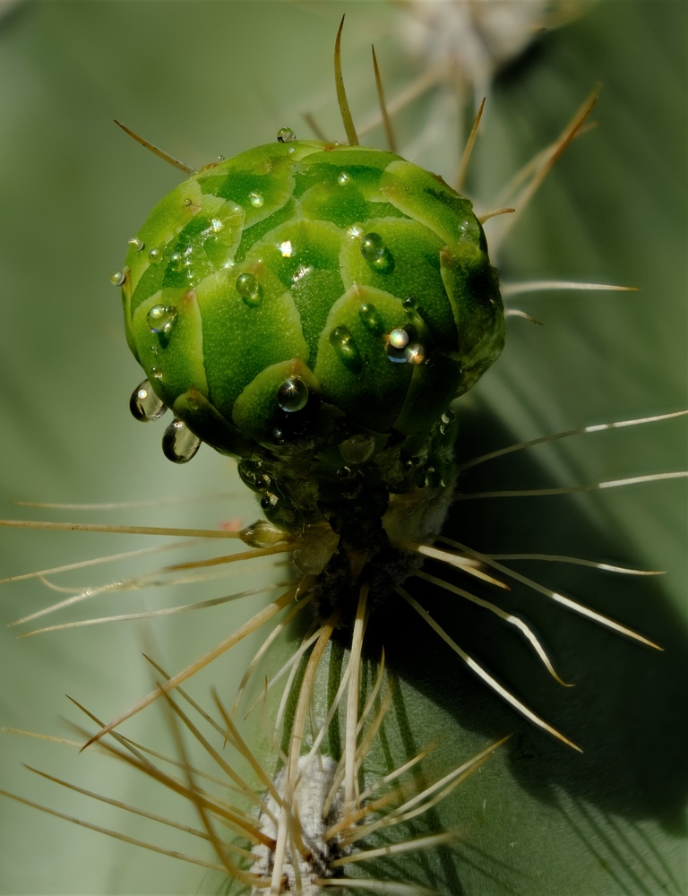 Saguaro bud by Ted Wuollet
