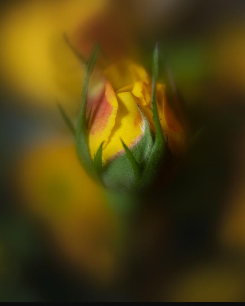 Rose by Skyler Ewing