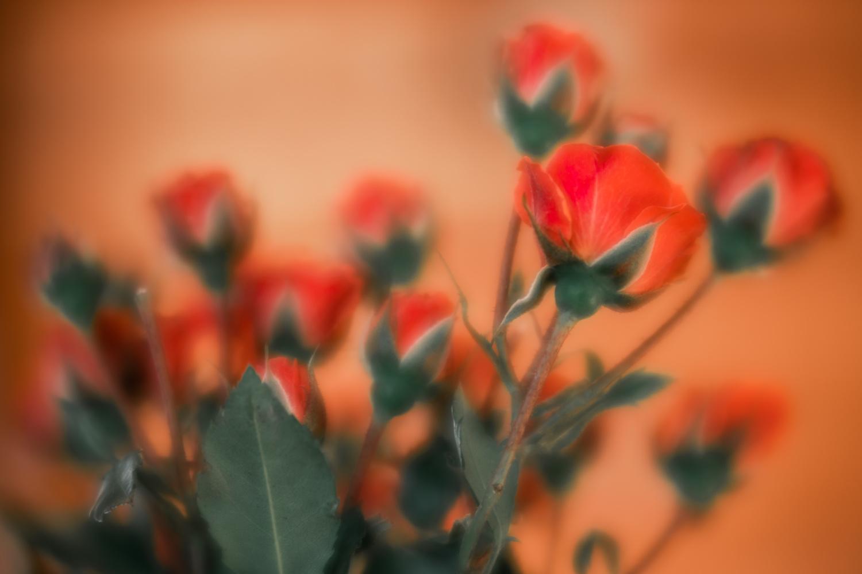 Roses by Skyler Ewing