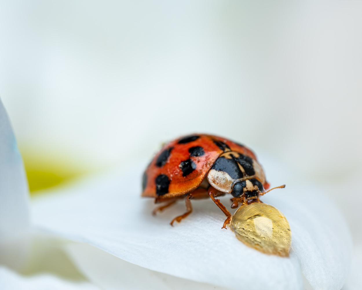Ladybug feeding from a drop of honey by Skyler Ewing