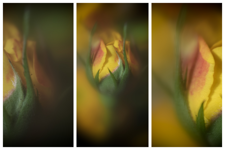 Rose flower by Skyler Ewing