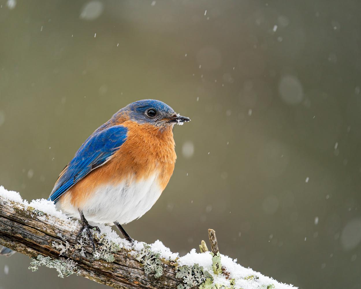 Male bluebird by Skyler Ewing