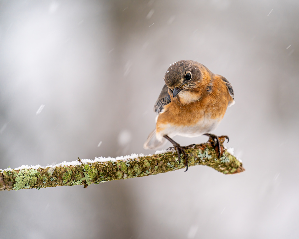Female bluebird by Skyler Ewing